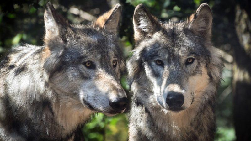 Der Wolf – eine neue Bedrohung?