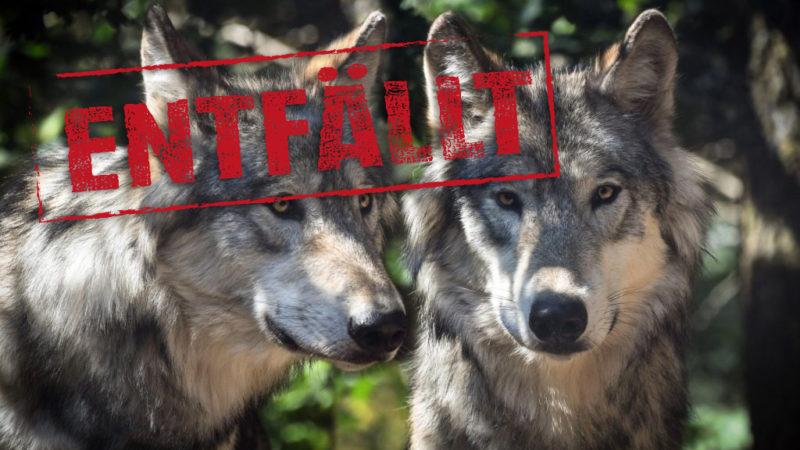 Der Wolf – eine neue Bedrohung? +++ Entfällt +++